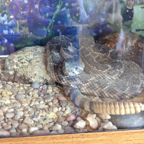 A rattlesnake is coiled in its tank. The rattlesnake belongs to Roger Sanderson, a snake expert that has the largest collection of live snakes in Texas.