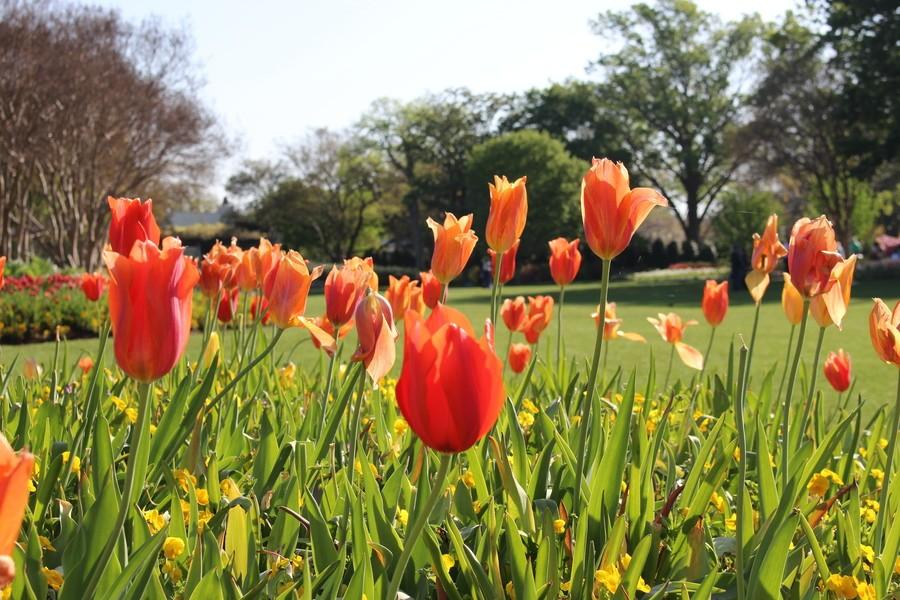 Orange+tulips+bloom+as+part+of+the+Dallas+Blooms+collection+at+the+Dallas+Arboretum+and+Botanical+Gardens.+Over+500%2C000+spring+flowers+were+planted+in+early+March+for+the+floral+festival+and+the+finale+will+come+at+the+end+of+April+with+the+mass+flowering+of+the+azaleas.+Photo+by+Kelly+Monaghan.
