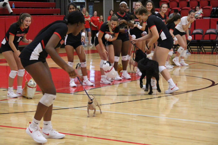 Coppell High School senior Amarachi Osuji walks across the court with Operation Kindness chihuahua. All profits from the Dig for Dogs volleyball game on September 18th will go to Operation Kindness, a no kill shelter located in Carrollton.