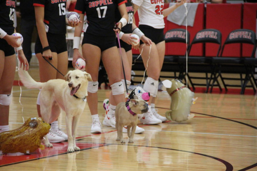 The Coppell volleyball team shows dogs up for adoption from Operation Kindness during last year's Digs for Dogs night. On Tuesday, the Cowgirls host this year's event during their match against Marcus in the CHS Arena. Sidekick file photo