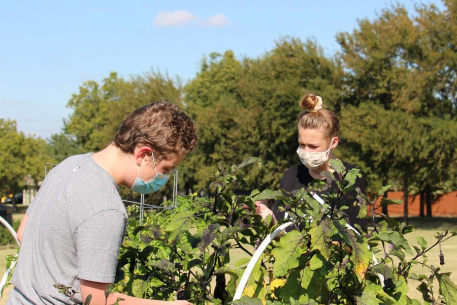 Coppell East eighth graders Stayton Slaughter (left) and Rylan Hoeing (right) trim branches in the Coppell East garden on Friday. Coppell Middle School East science teacher Jodie Deinhammer created this garden to help foster students' learning.