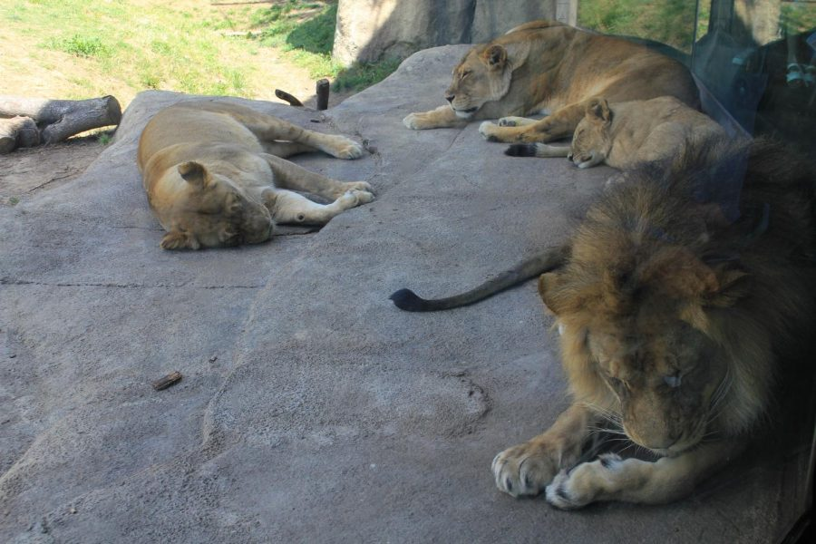 Lions lay in the exhibit at the Dallas Zoo on April 18. New Tech High @ Coppell sophomore Vibha Radhakrishnan has been volunteering weekly as a part of the Zoo Crew volunteer program since 2017, where her role volunteering primarily includes educating guests about the animals and cleanup duty.