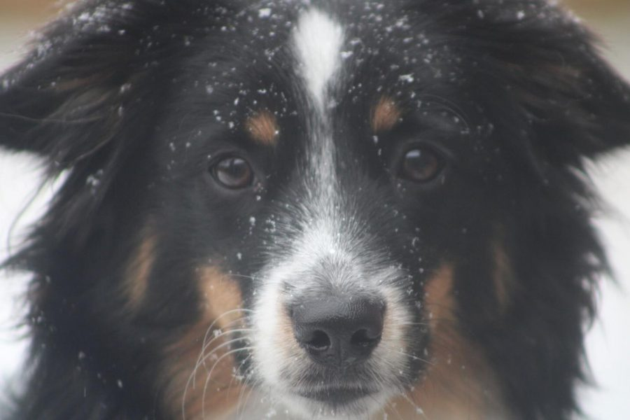 Eight-month-old toy Australian Shepherd Lucy experiences her first real Texas snowfall today on Shadowcrest Lane. Coppell experienced snowfall on Sunday, and there is a winter storm warning for the Dallas-Fort Worth area as per the National Weather Service.