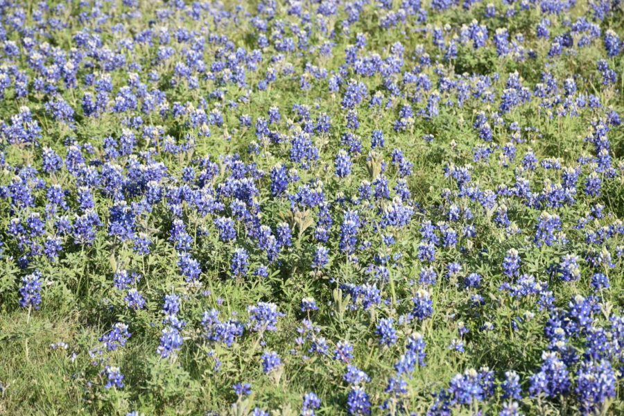 Bluebonnets bloom at Lee Elementary School on Monday. Bluebonnets were chosen as the Texas state flower in 1901 and annually bloom throughout Texas from late March to early April.